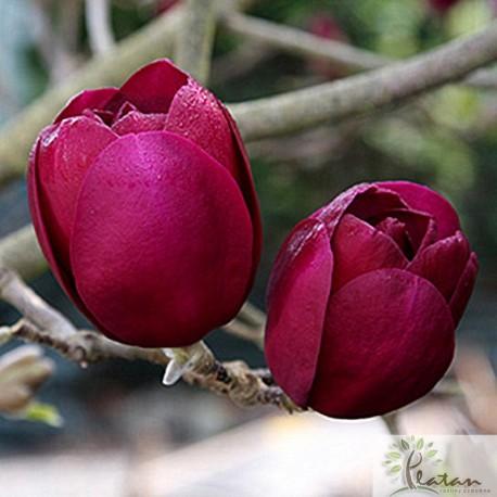 Magnolia soulangeana 'Black Tulip'