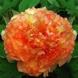 Piwonia drzewiasta (pomarańczowa)