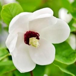 Magnolia Siebolda