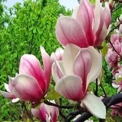 Magnolia 'Soulange'a'