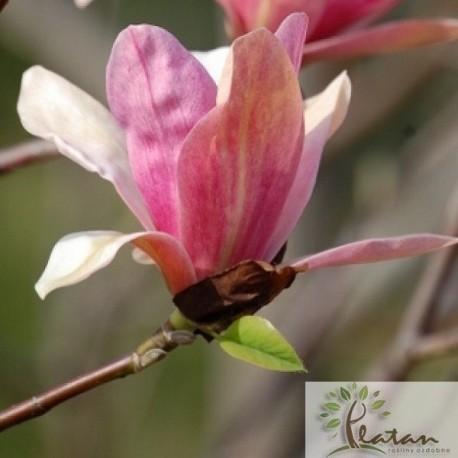 Magnolia 'Coral Lake'