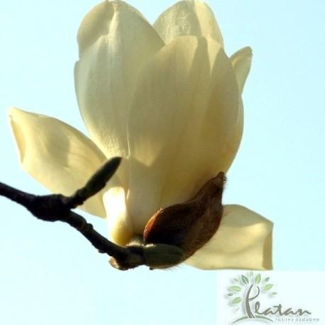 Magnolia 'Golden Dream'