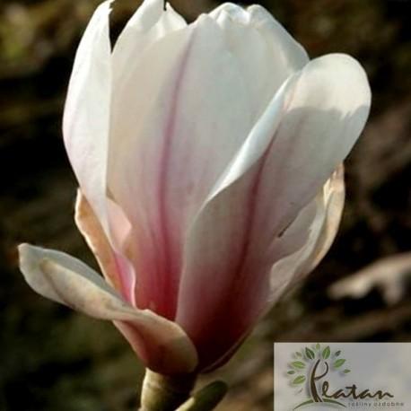 Magnolia 'Kate Brook'