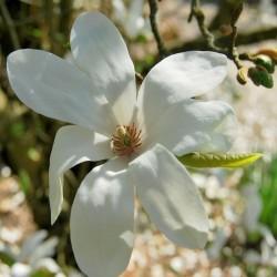 Magnolia loebneri 'Snowdrift'
