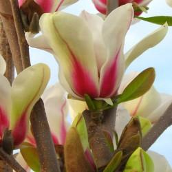Magnolia 'Green Diamond'