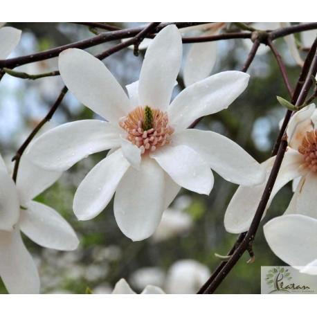 Magnolia 'Joli Pompon'