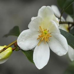 Magnolia dianica 'Summer Snowflake'