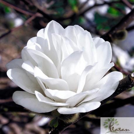 Magnolia loebneri 'Wildcat'