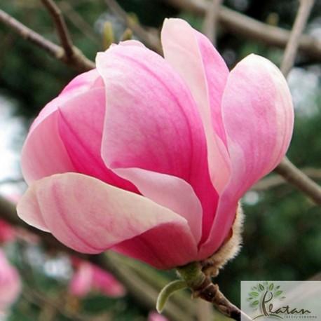 Magnolia 'Pink Goblet'